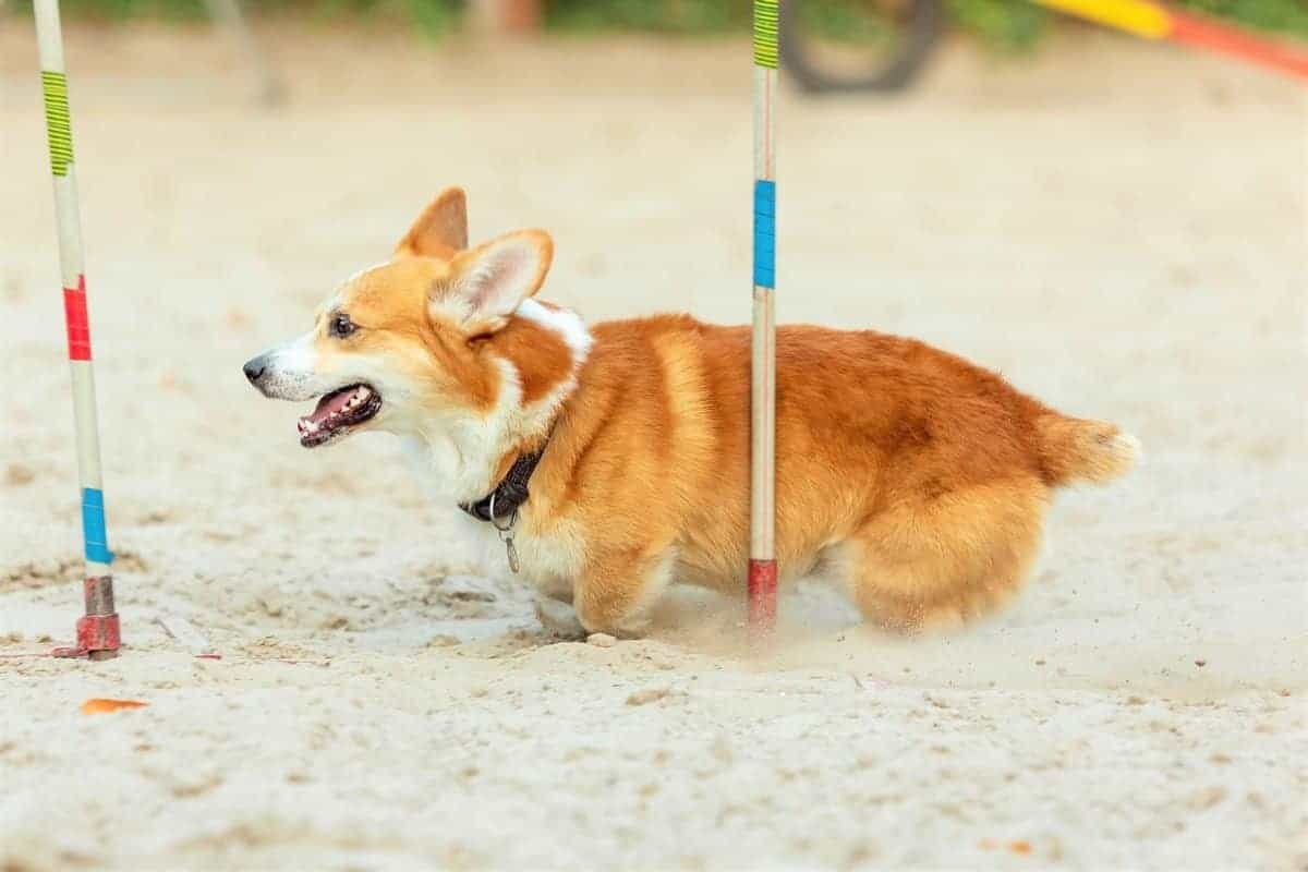 Little cute Corgi dog training for competiton