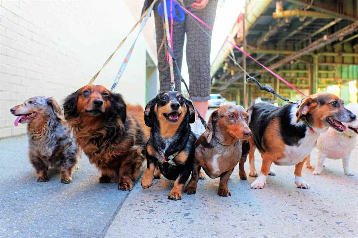 Many different Doxin dogs walking