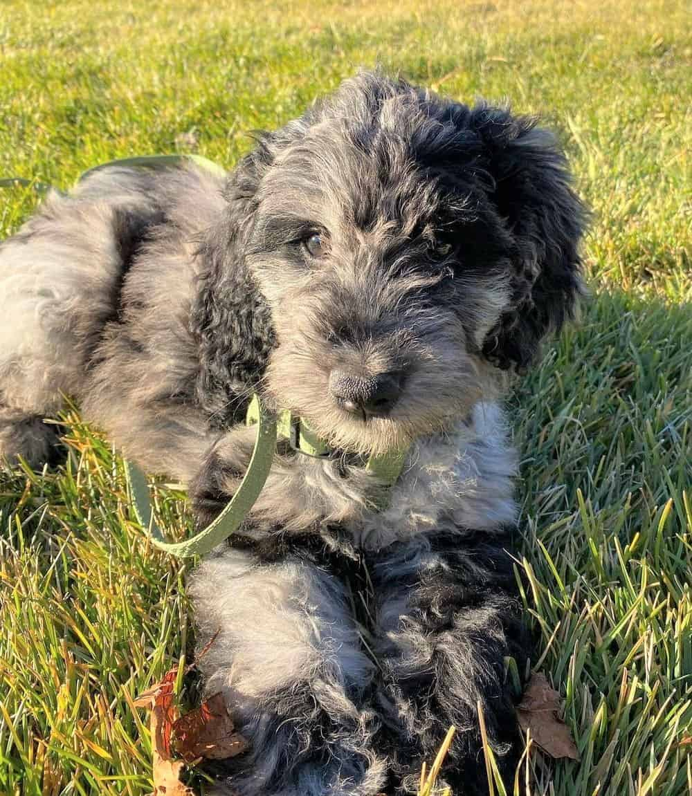 Merle Goldendoodle puppy