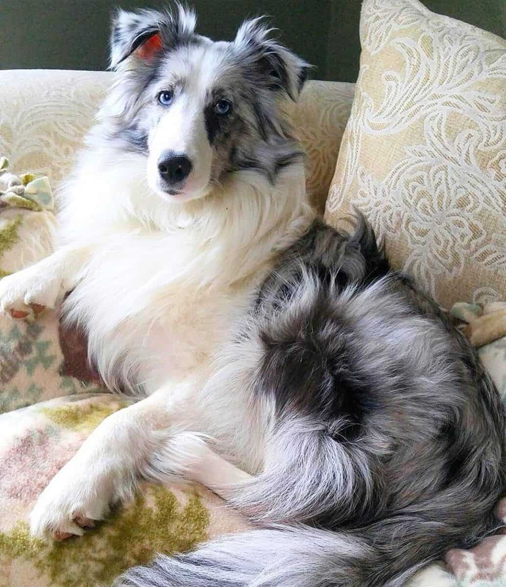 Merle Miniature Border Collie lying on a couch