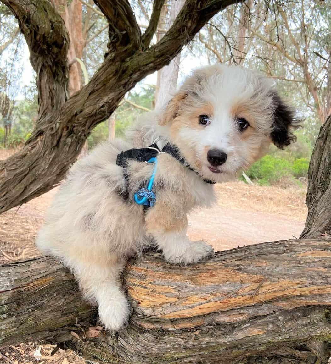 Mini Aussiedoodle climbing on a tree