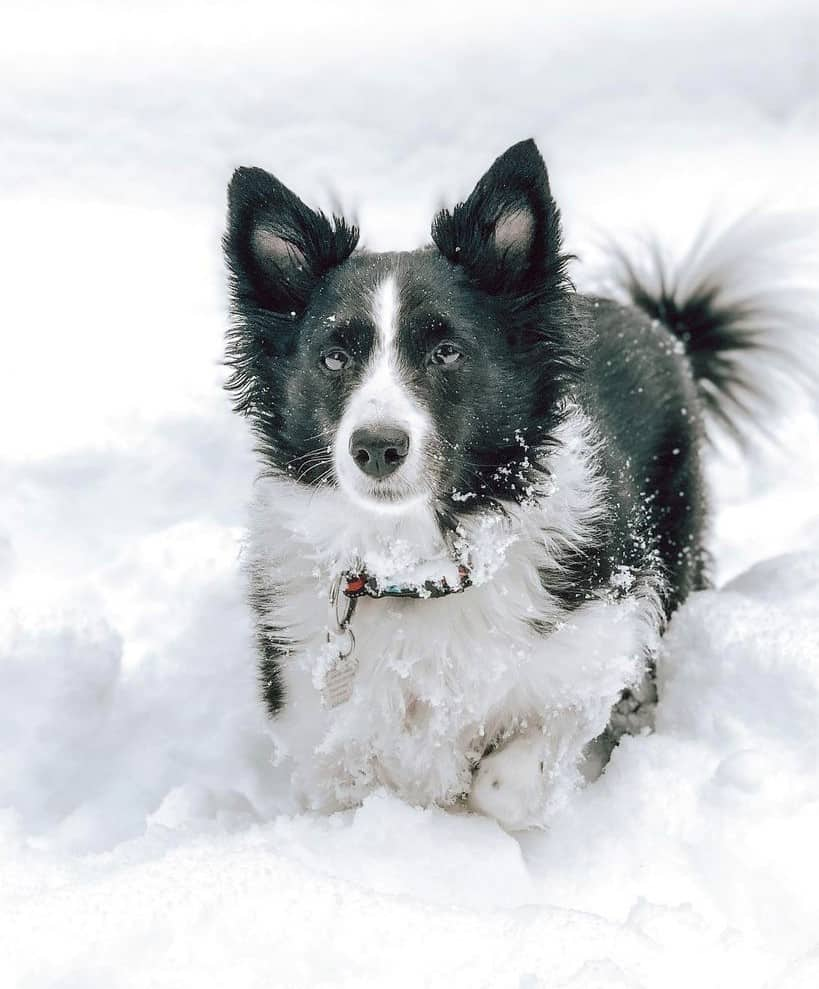 Miniature Border Collie on thick snow
