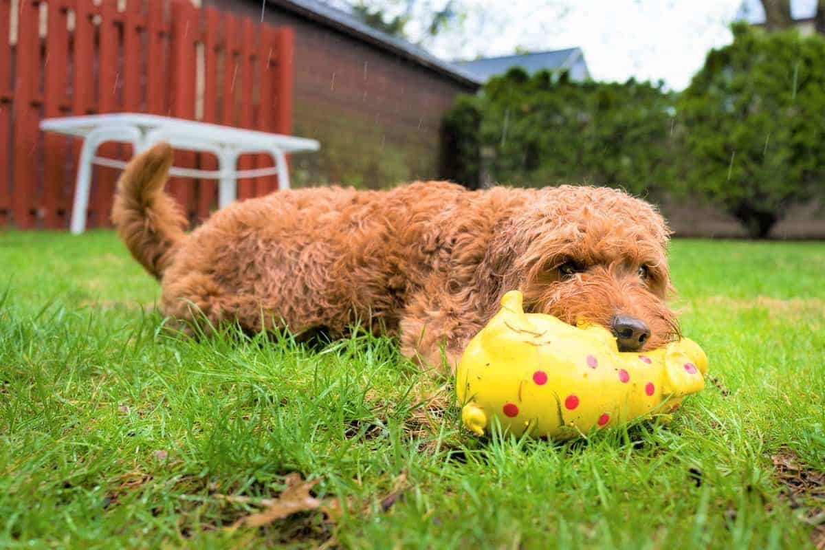 Miniature Goldendoodle playing in the rain