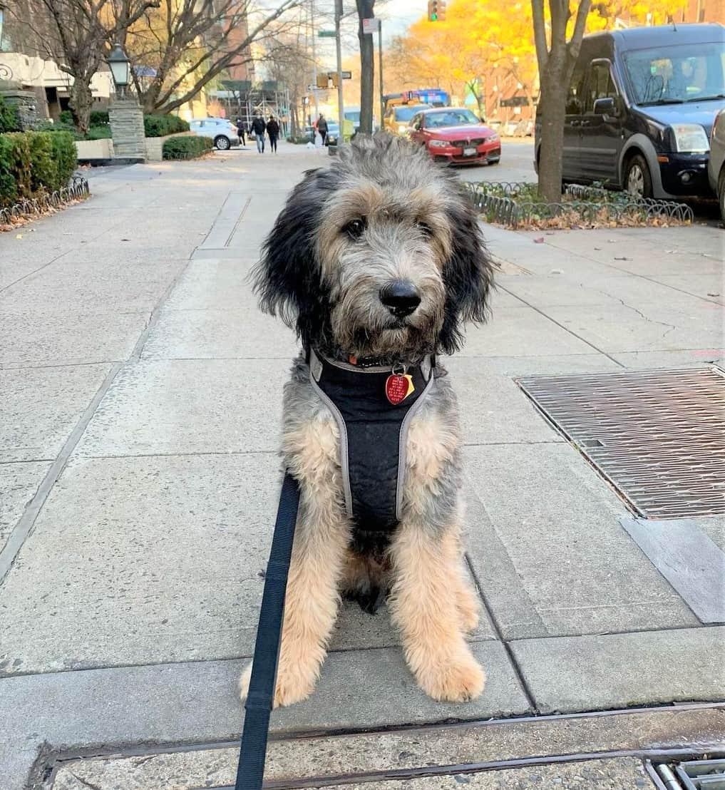 Phantom Goldendoodle puppy