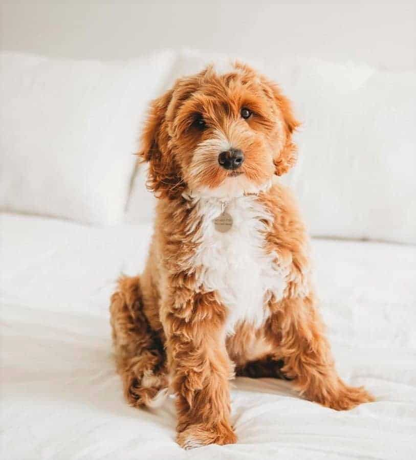 Red Australian Goldendoodle sitting on a bed