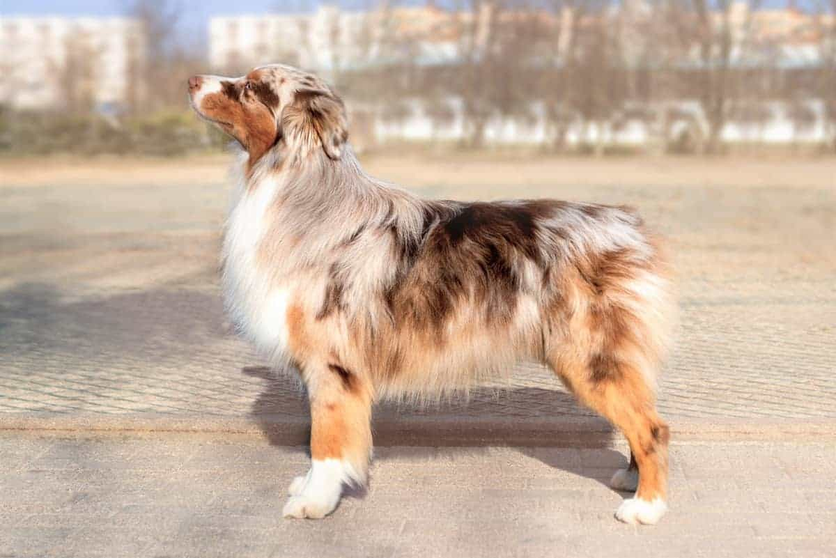 Red merle Australian Shepherd with a bobbed tail