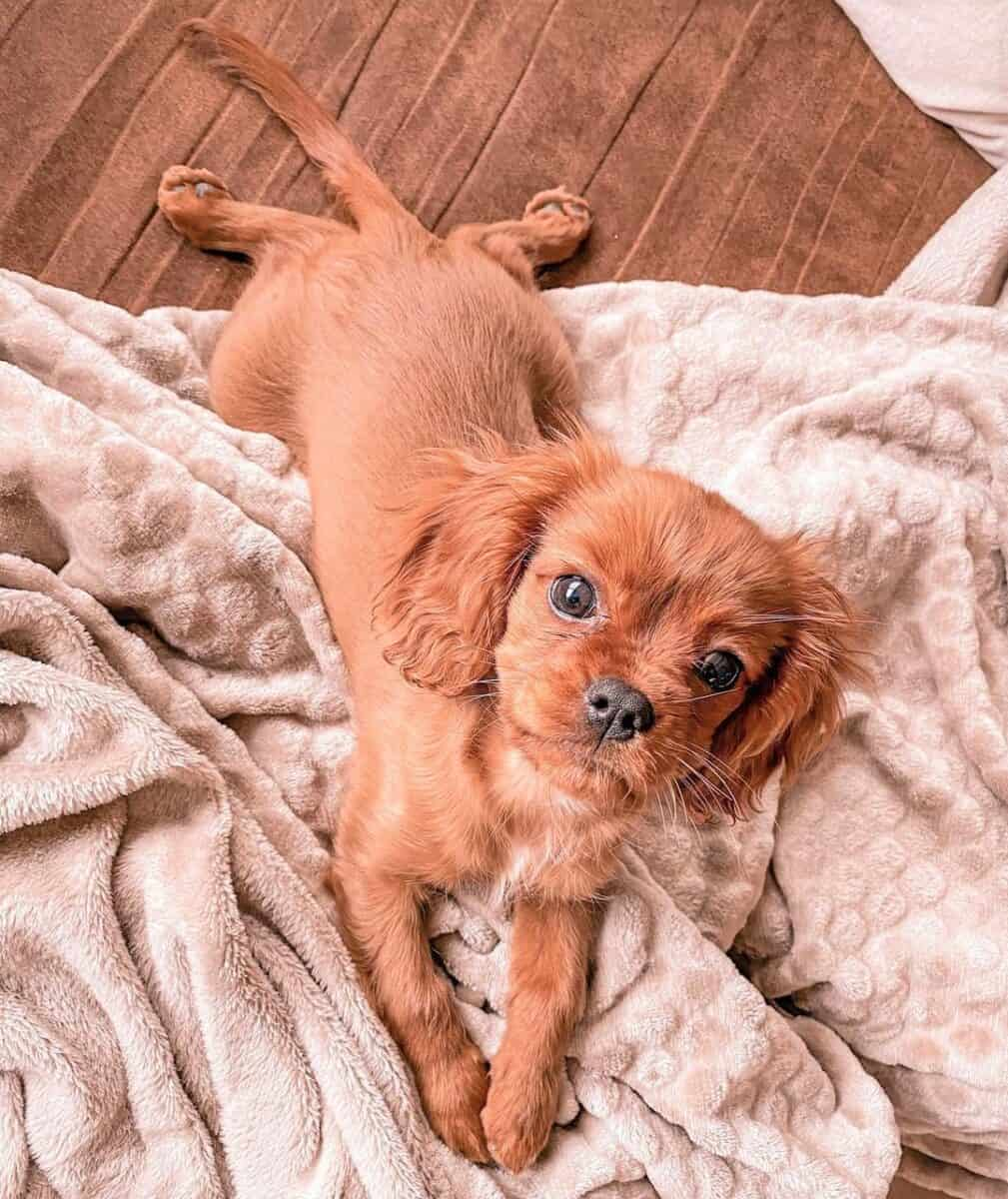 Ruby Teacup Cavalier King Charles Spaniel