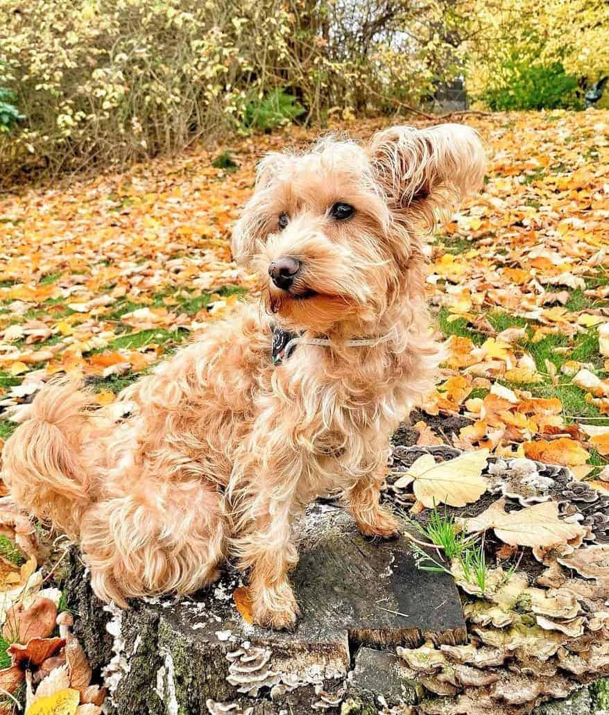 Schnoodle (Schnauzer and Poodle Mix)