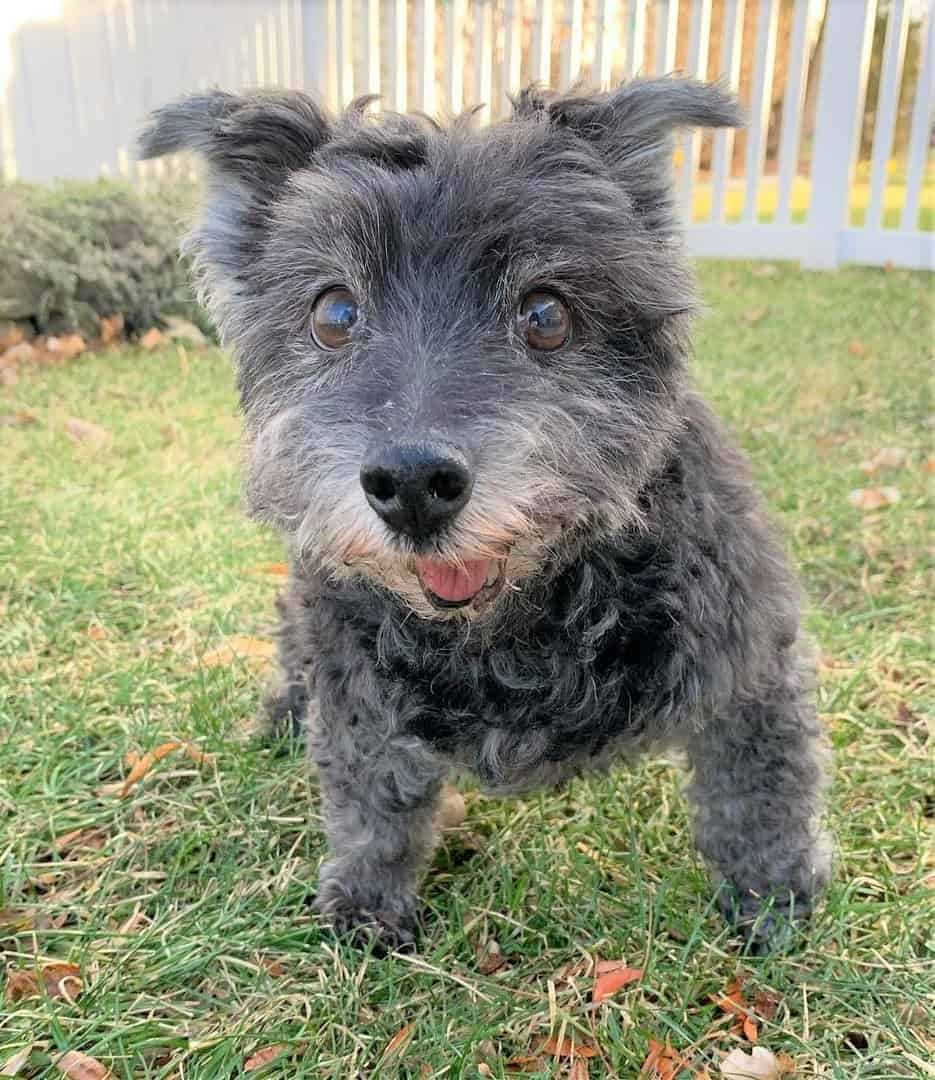 Scoodle (Scottish Terrier and Poodle Mix)