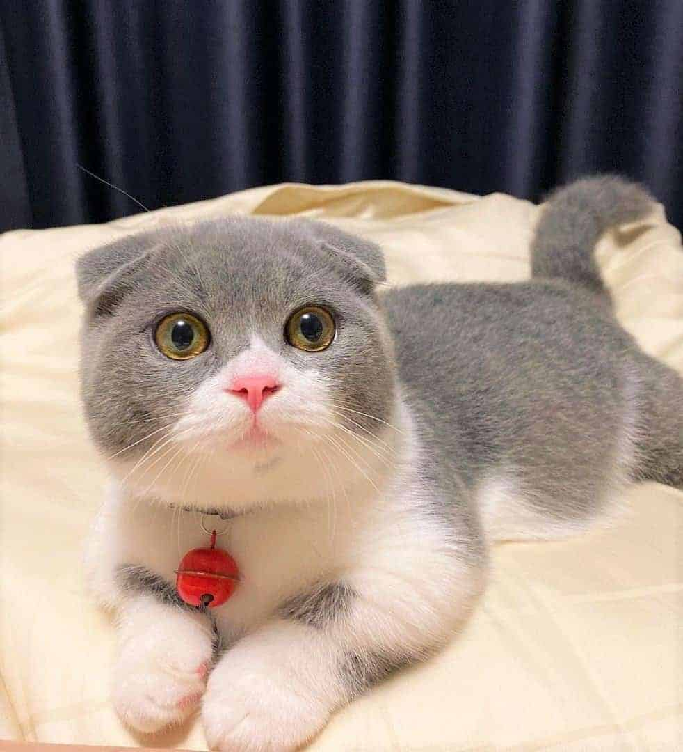 Scottish Fold Munchkin Cat lying on a bed