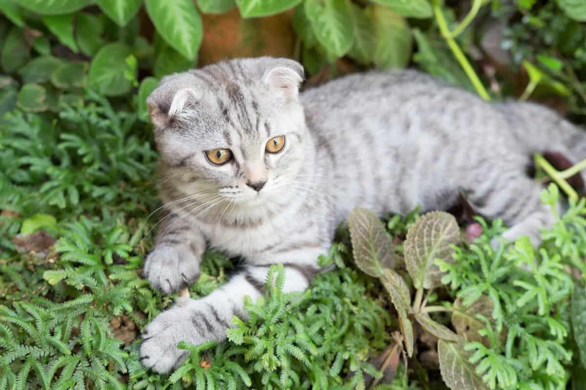 Scottish Fold Munchkin Cat sitting on grass