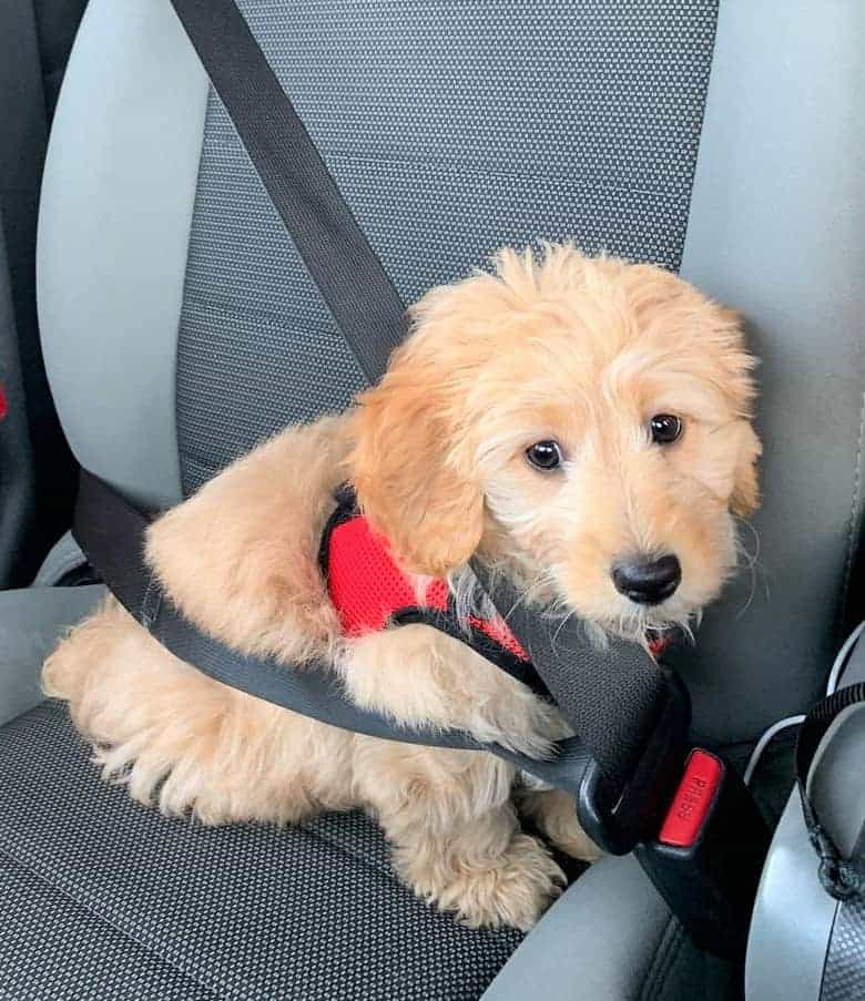 Tan Goldendoodle puppy
