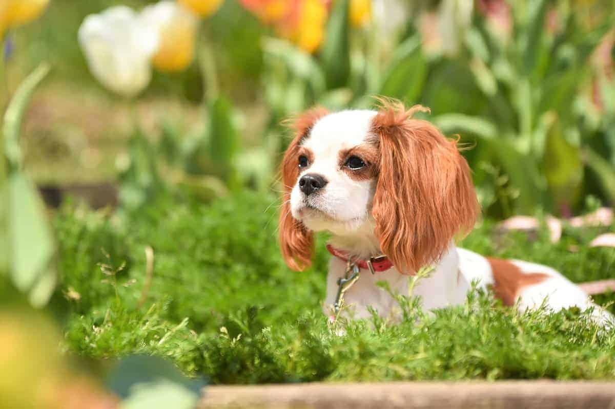 Teacup Cavalier King Charles Spaniel around beautiful flowers