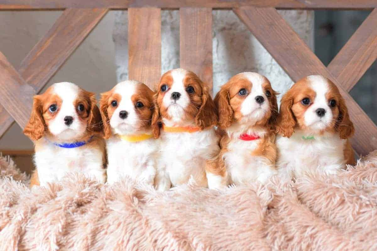 Teacup Cavalier King Charles Spaniel puppies for sale