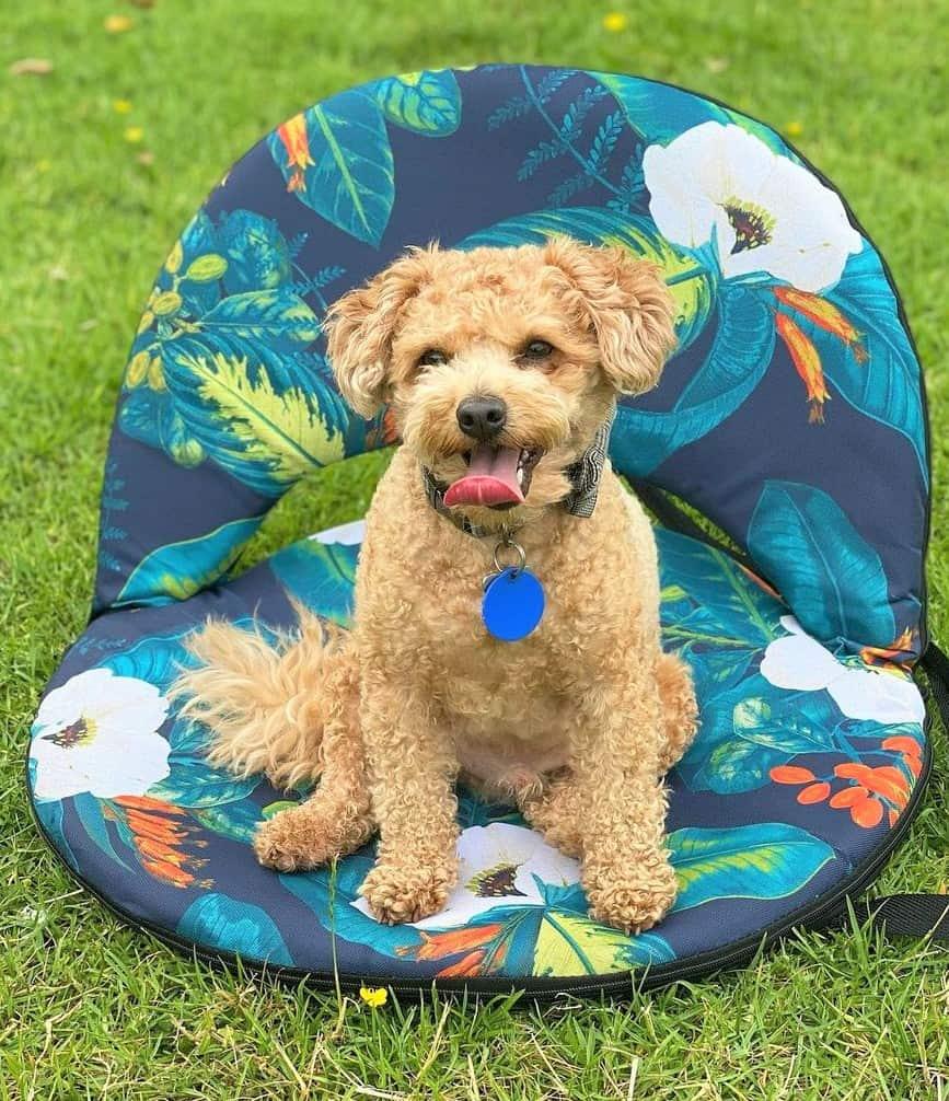 Terri-poo (Australian Terrier and Poodle Mix)