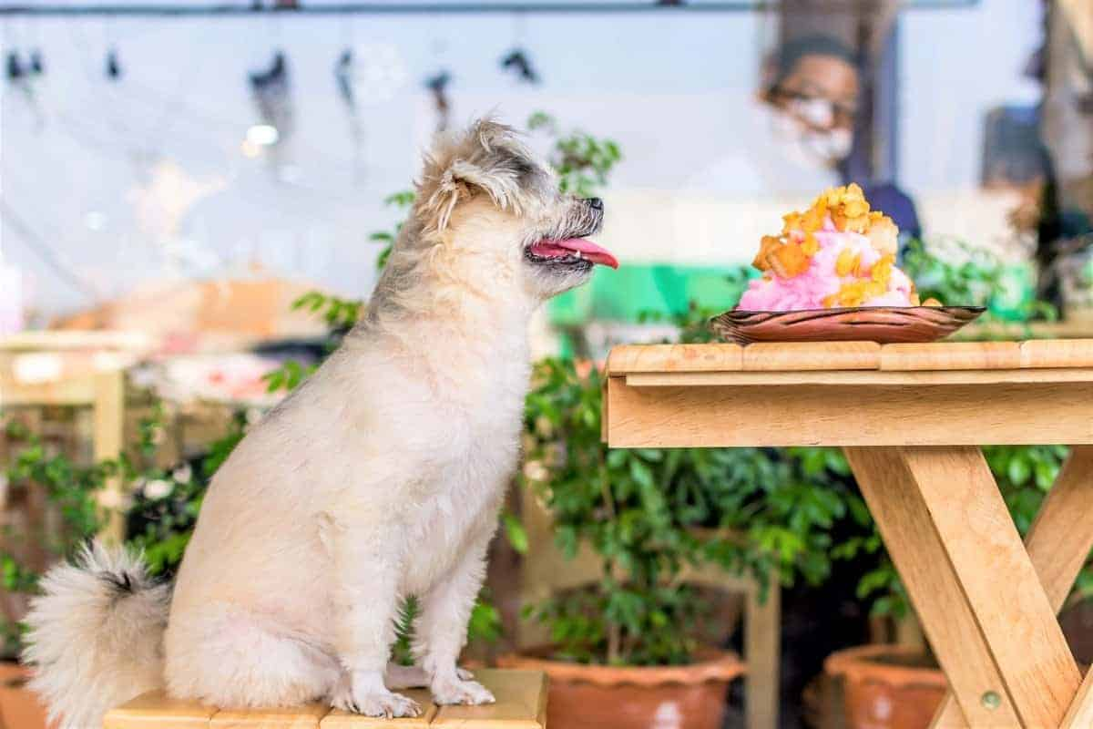 Terrier Poodle mix looking at its food