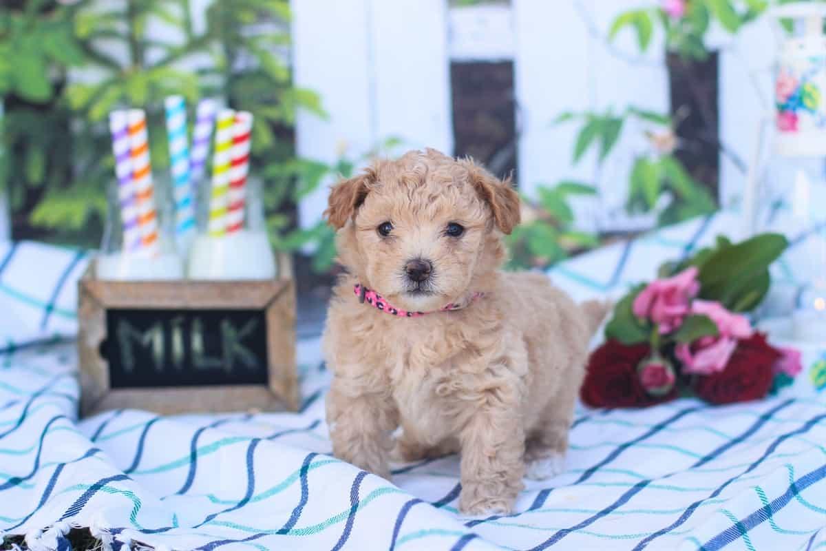 Terrier Poodle mix puppy