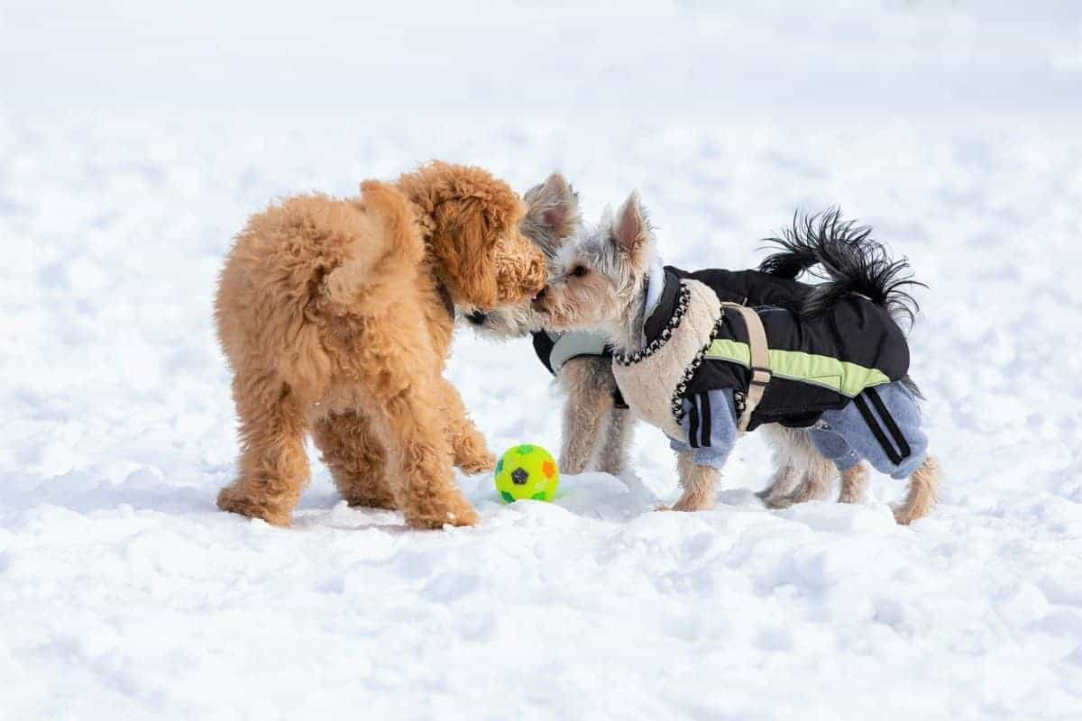 Terrier Poodle mixes playing together on thick snow