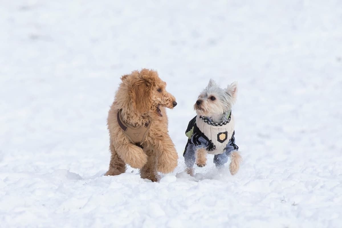 Terrier Poodle mixes running on snow