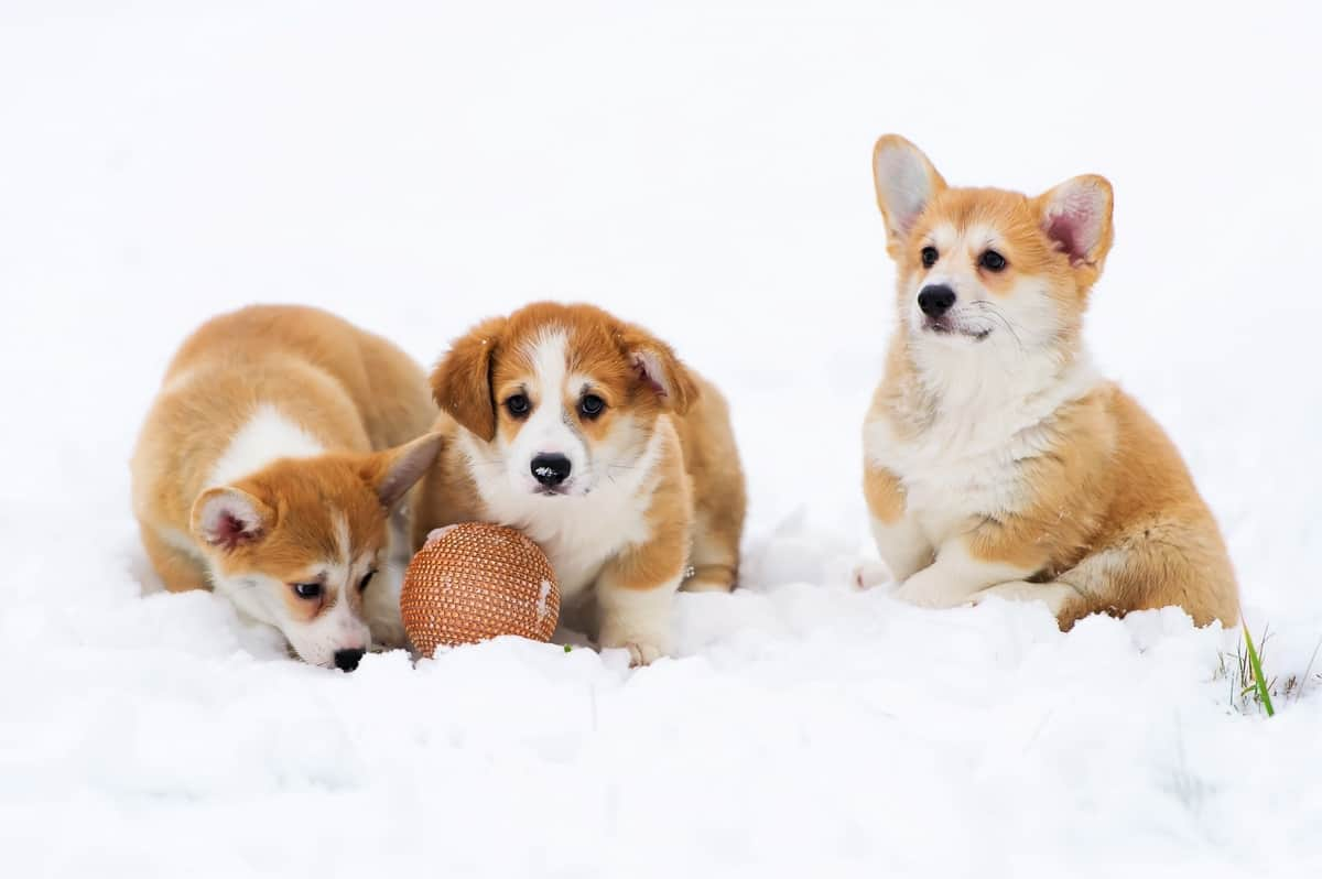 Three puppies of fluffy Welsh Corgi play in snow