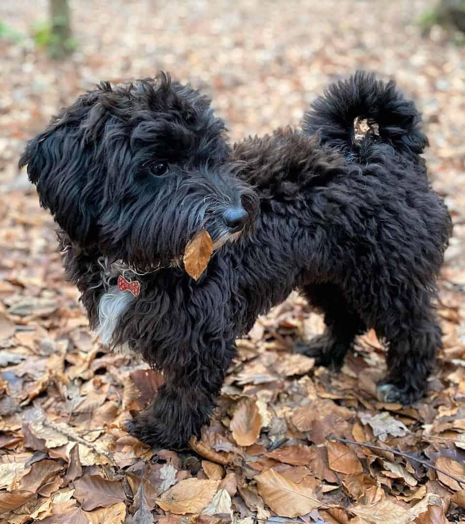Ttoodle (Tibetan Terrier and Poodle Mix)