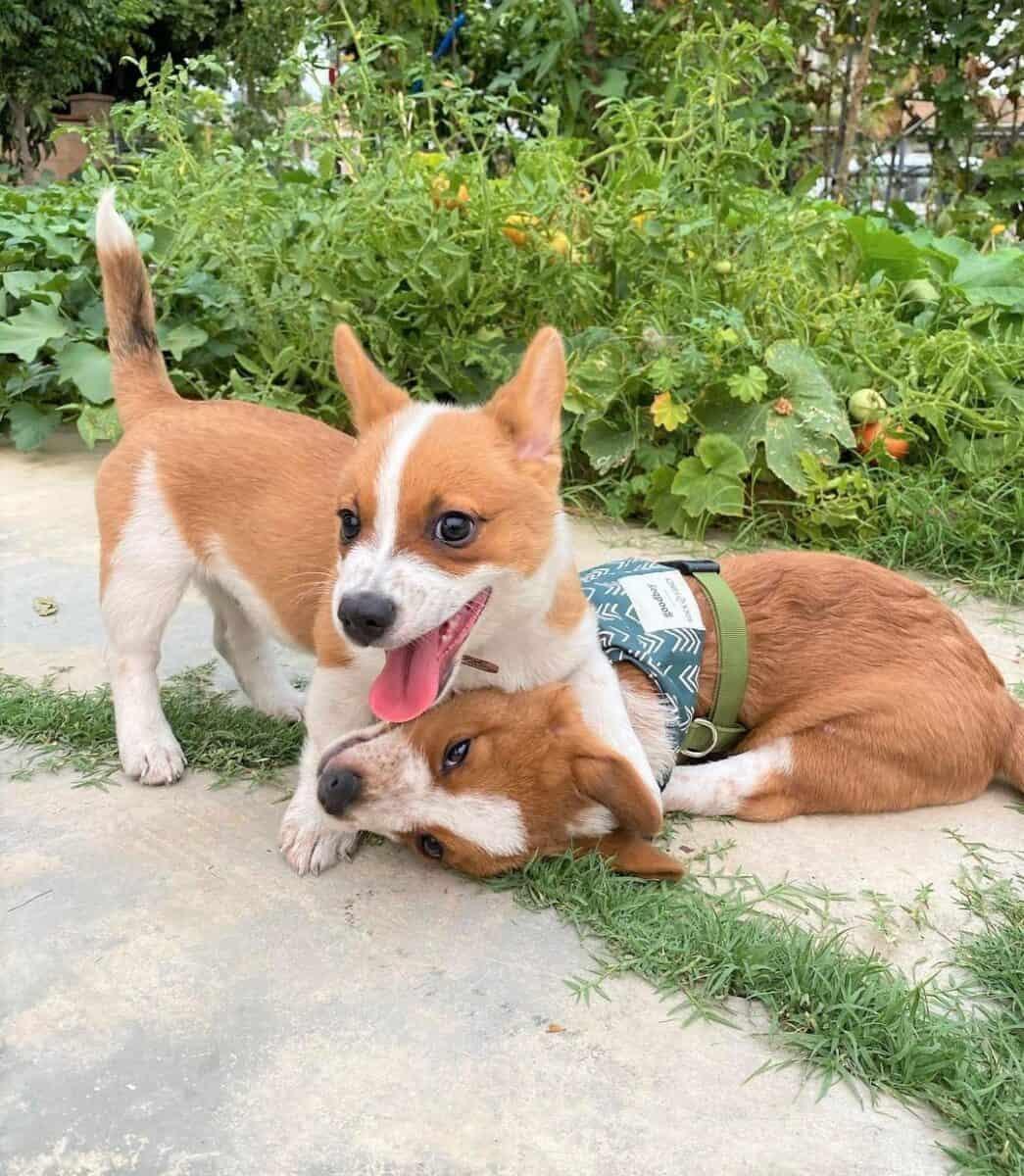 Two Cowboy Corgi puppies playing together