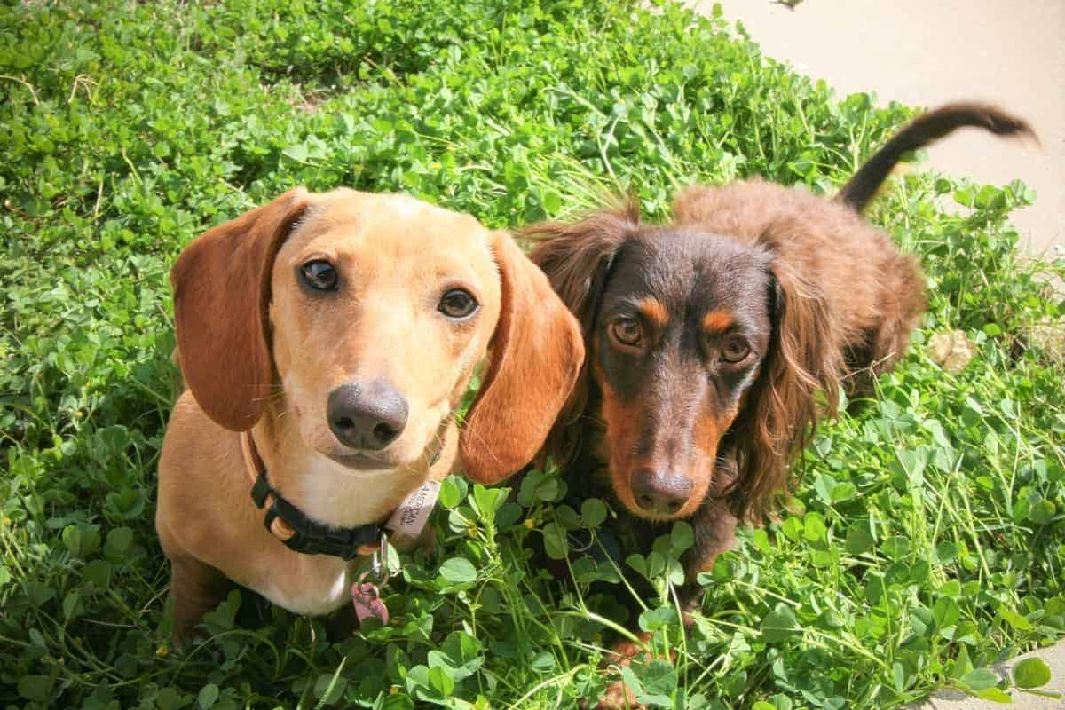 Two Dachshunds with different coat colors and patterns