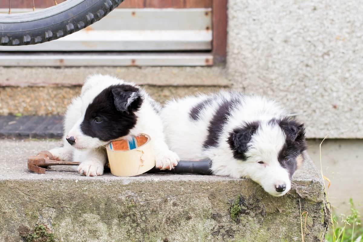 Two Mini Border Collie puppies sleeping on a farm