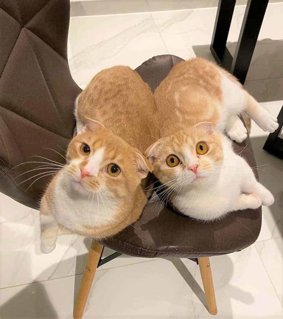 Two Scottish Fold Munchkins sitting together