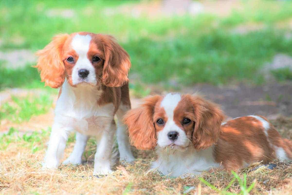 Two teacup dogs of the Cavalier King Charles Spaniel
