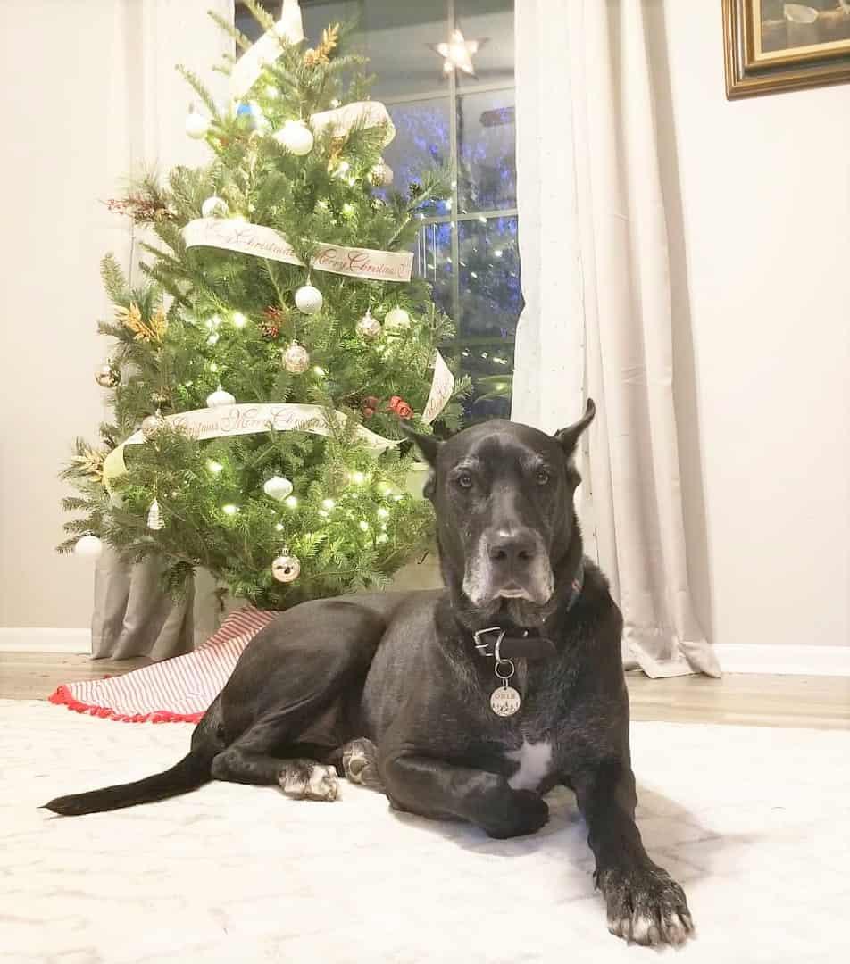 Warlock Doberman (Doberman and Great Dane mix) with a christmas tree