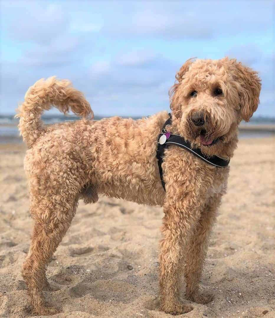 Whoodle (Soft-coated Wheaten Terrier and Poodle Mix)