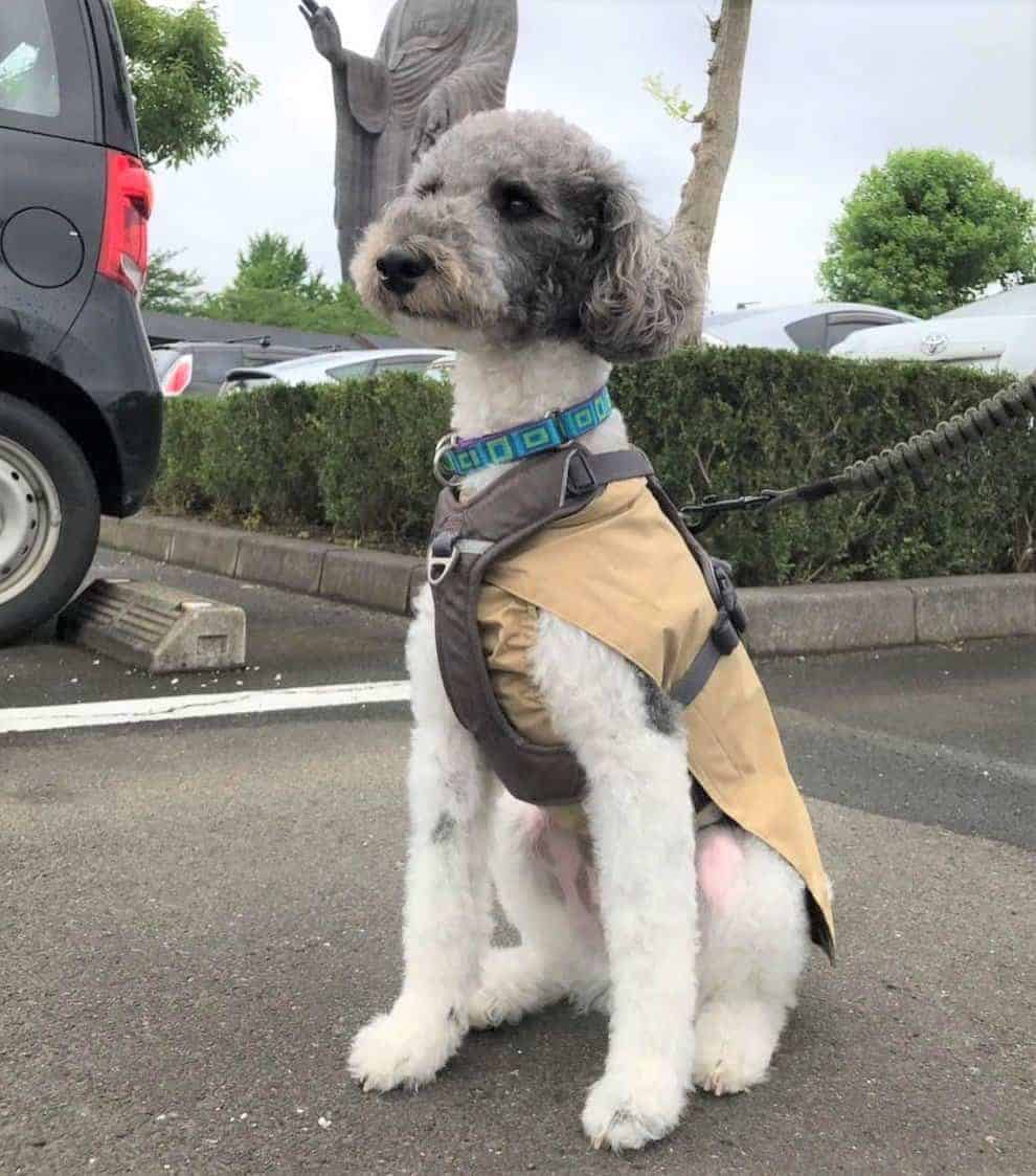 Wire-Poo (Wire Fox Terrier and Poodle Mix)
