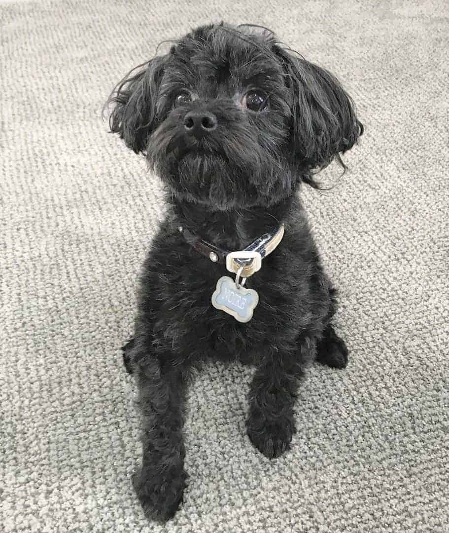 Yorkipoo (Yorkshire Terrier and Poodle mix)