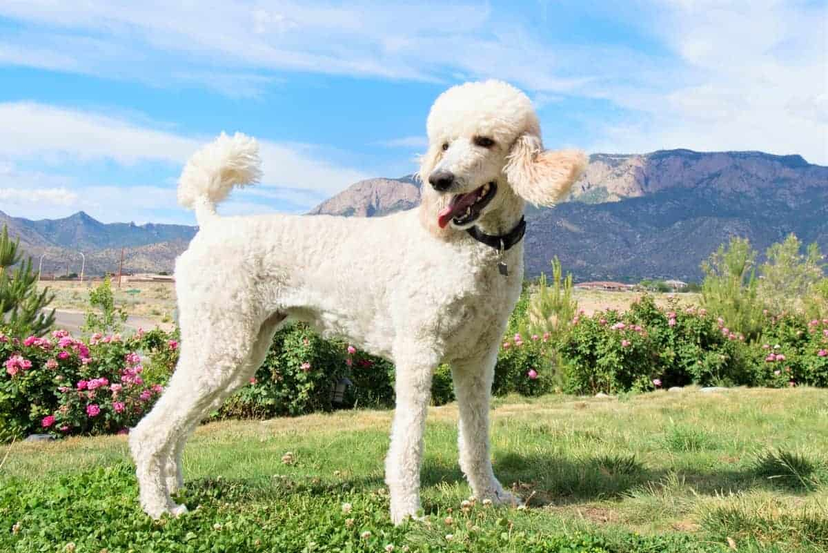 Adopted white Standard Poodle outdoors