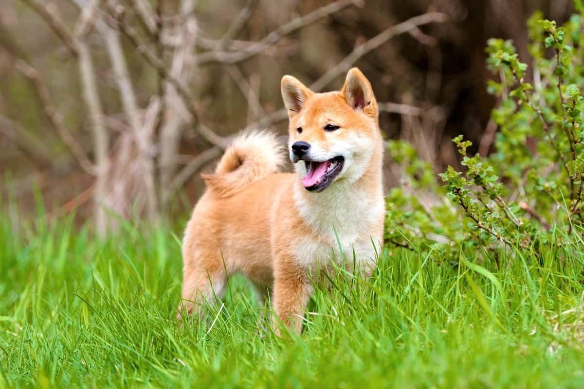 Adorable Mame Shiba Inu puppy outdoors