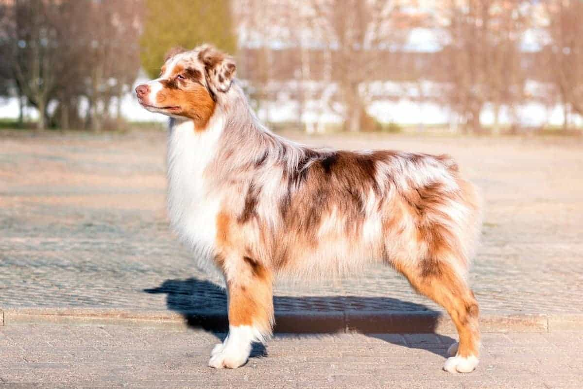 Australian Shepherd with a beutiful red merle coat