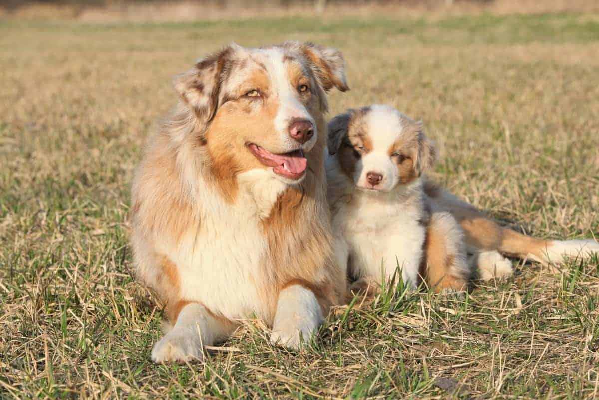 Beautiful red merle Australian Shepherd dog with its red merle Aussie puppy