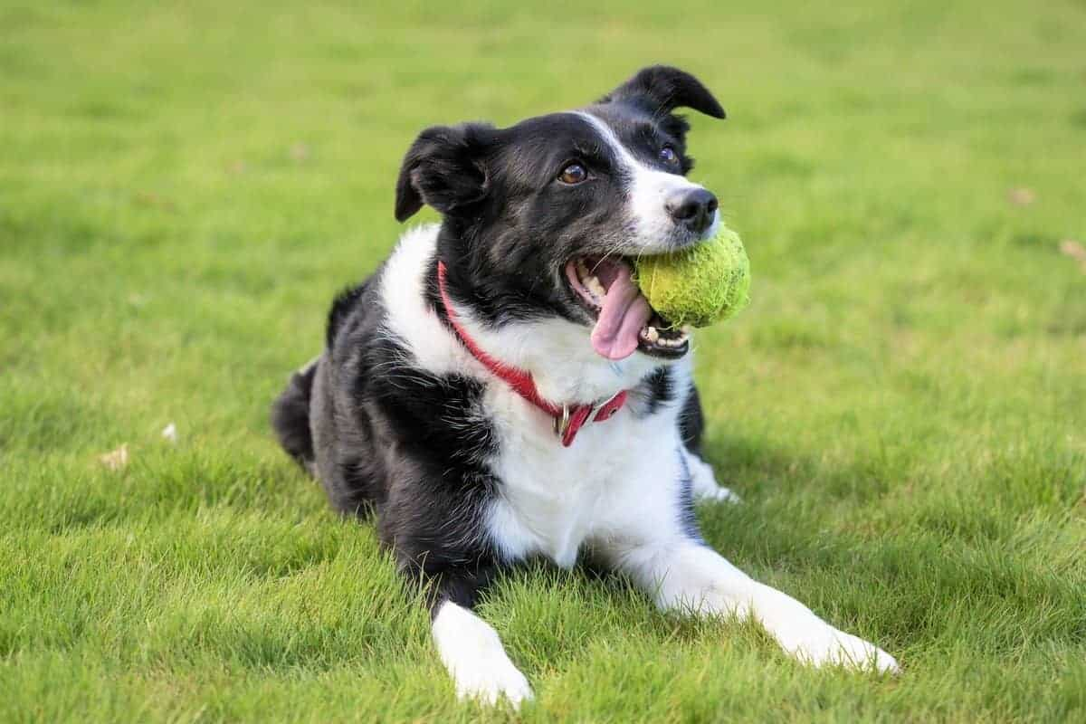 Best Border Collie rescue for adoption