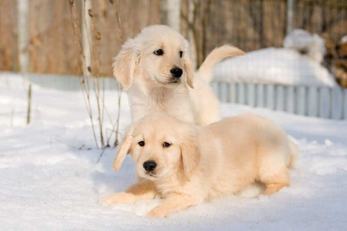 Best Golden Retriever breeders places to find Golden Retriever puppies for sale