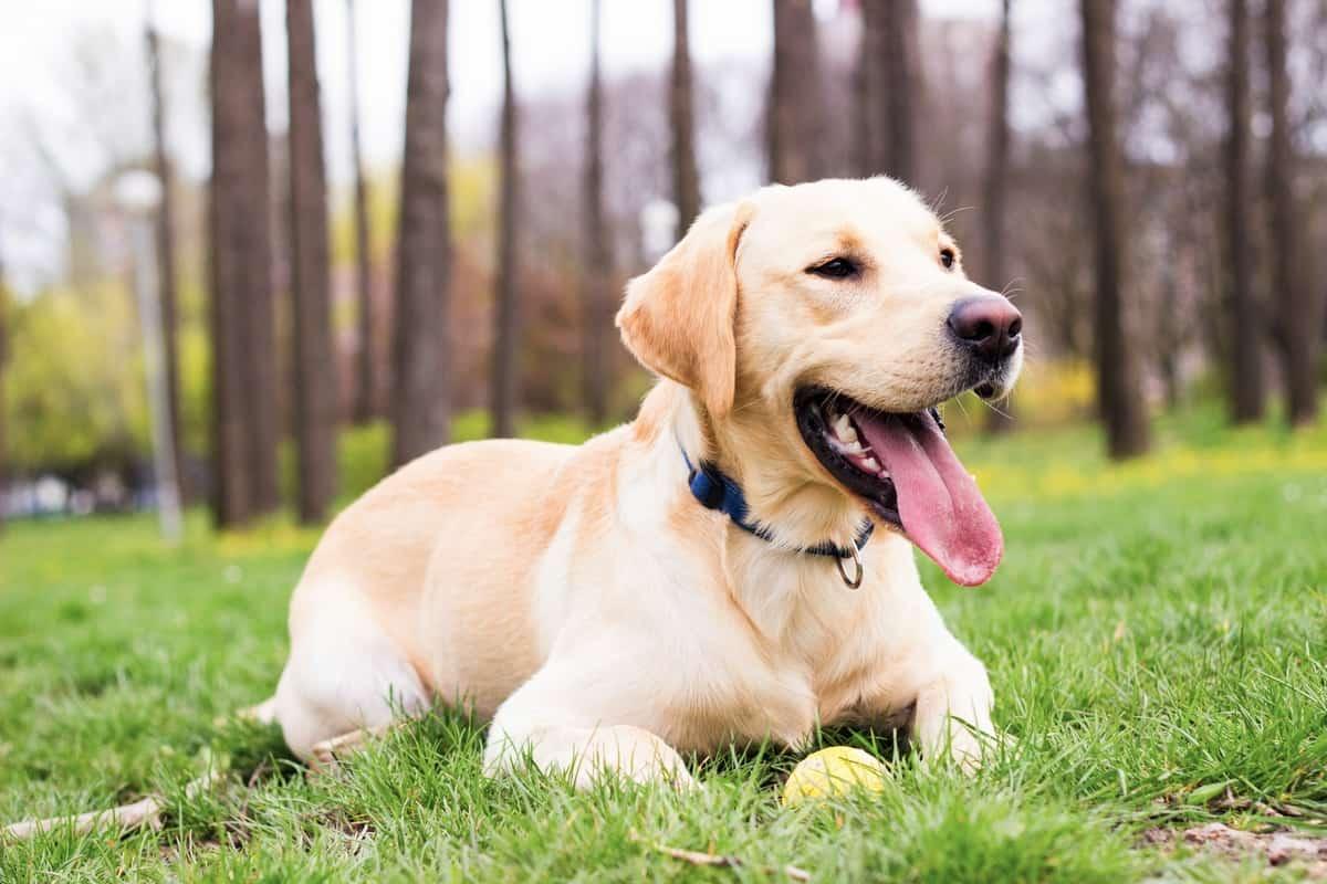 Best Labrador Retriever rescue for adoption