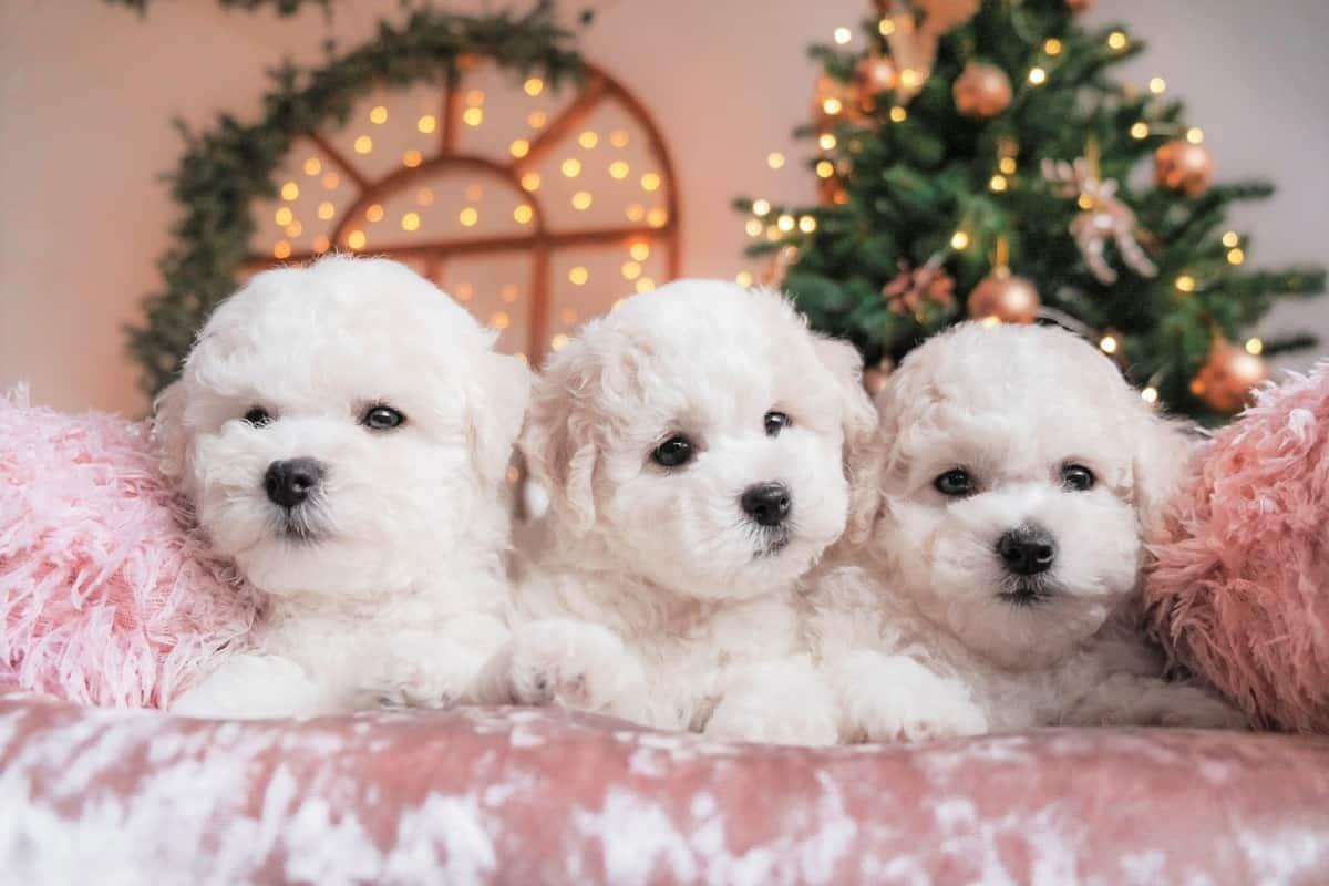 Bichon Frise puppies for sale on pink velvet blanket