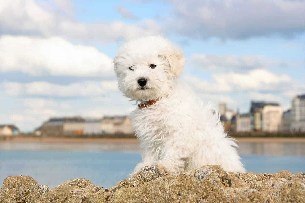 Bichon Frise puppy how much does bichon frise cost