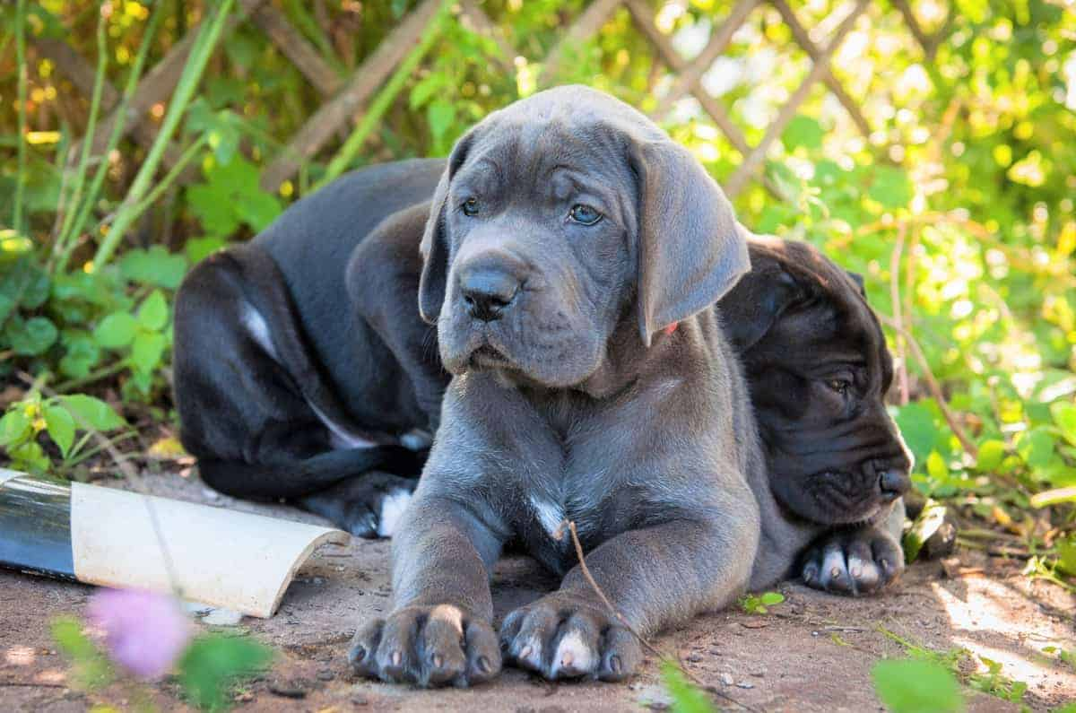 Black Great Dane puppy with a blue Great Dane puppy