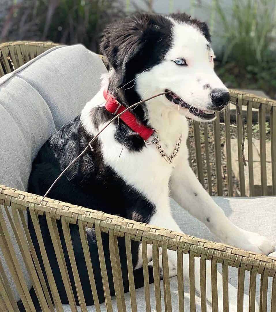 Black and White Great Dane Husky mix
