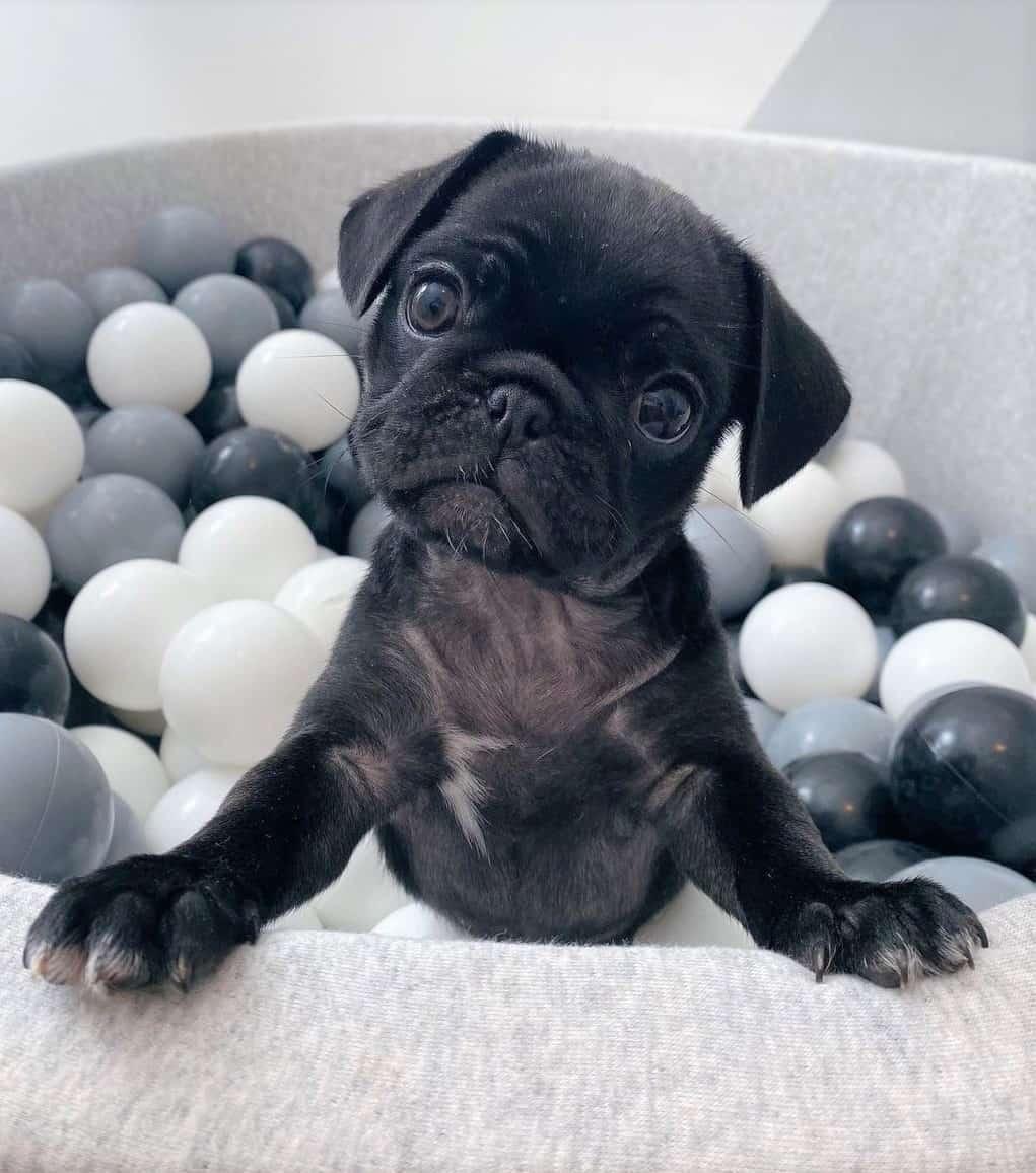 Black teacup Pug