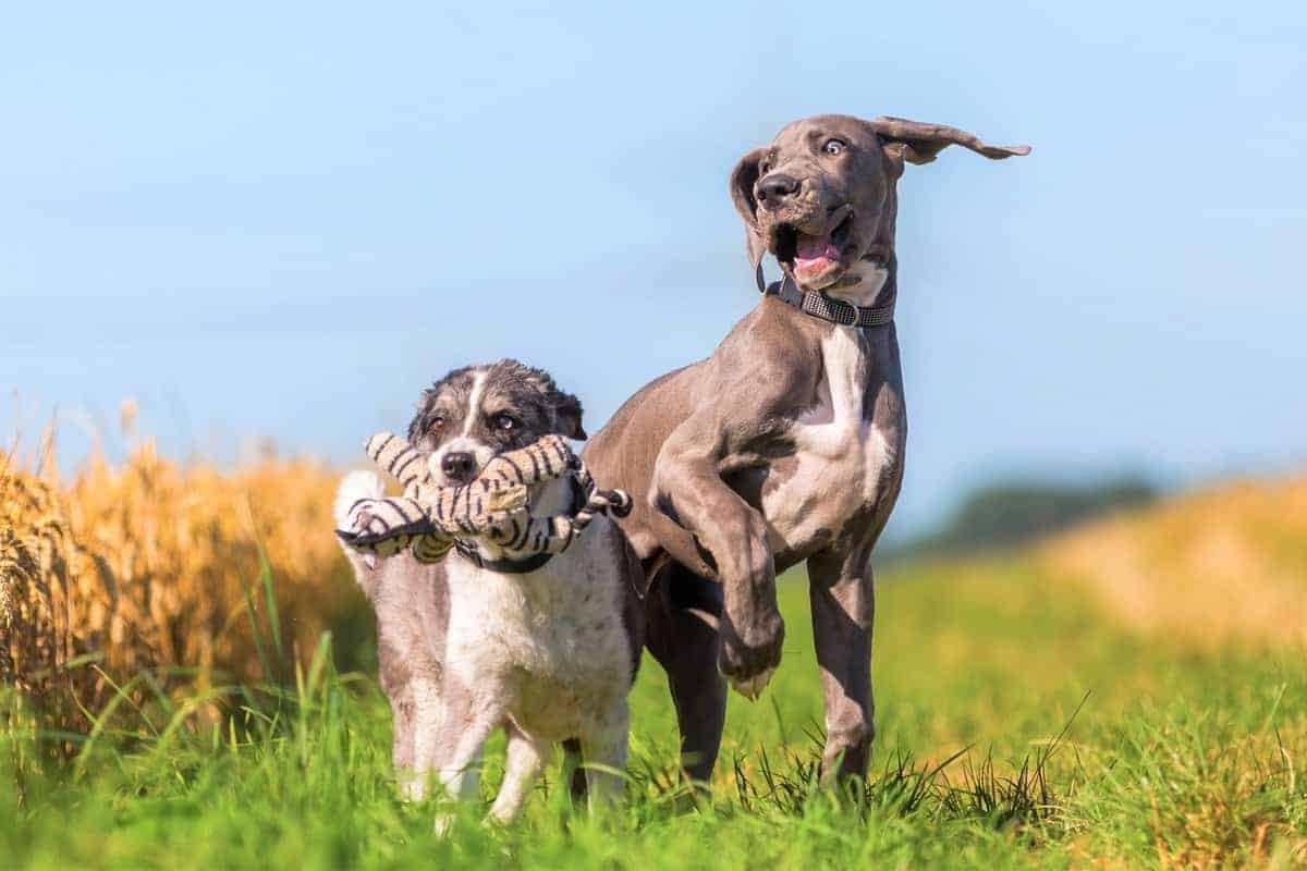 Blue Great Dane puppy and an Australian Shepherd playing together