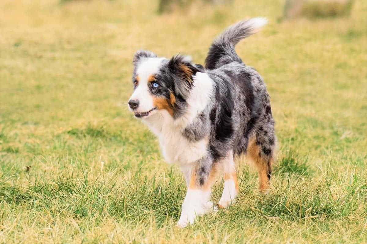Blue merle tri Aussie with brown and blue eyes