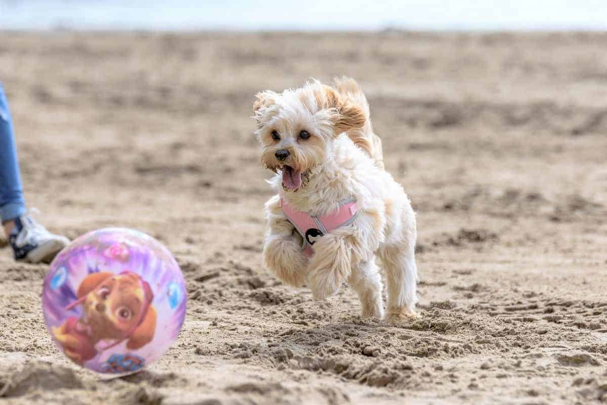 Cavapoochon puppy playing with a ball on the beach in the summer
