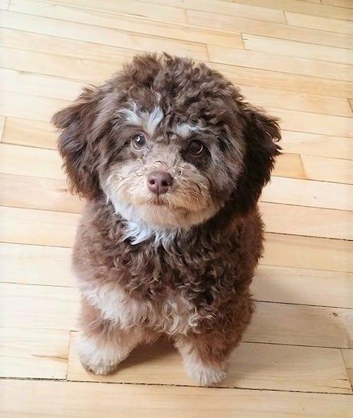 Chocolate phantom Poodle